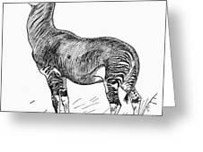 Okapi Greeting Card