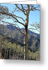 Old Aspen Greeting Card
