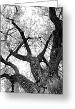 Old Cottonwood Tree Greeting Card