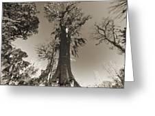 Old Cypress Tree Greeting Card