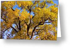 Old Giant  Autumn Cottonwood Greeting Card