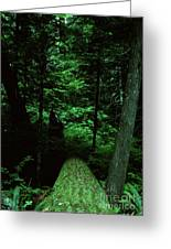 Old Growth Forest At Lost Lake On Mount Hood Greeting Card