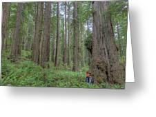 Old Growth Redwoods, Redwood National Park, California Greeting Card by Paul Schultz