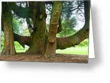 Old Huge Tree Greeting Card