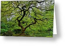 Old Japanese Maple Tree Greeting Card
