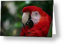 Old Red Parrot Greeting Card