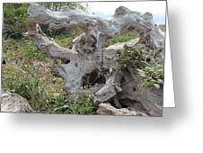 Old Stump At Gold Beach Oregon 1 Greeting Card