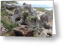 Old Stump At Gold Beach Oregon 4 Greeting Card