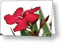 Oleander Blood-red Velvet 2 Greeting Card