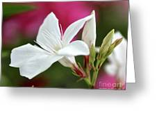Oleander Casablanca 2 Greeting Card