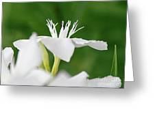 Oleander Ed Barr 1 Greeting Card
