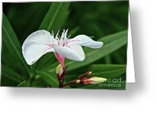 Oleander Harriet Newding  1 Greeting Card