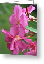Oleander Maresciallo Graziani 2 Greeting Card
