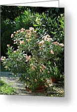 Oleander Petite Salmon 4 Greeting Card
