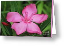 Oleander Professor Parlatore 2 Greeting Card