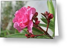 Oleander Splendens Giganteum 4 Greeting Card