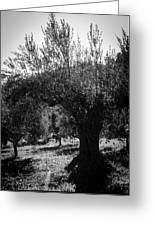 Olive Trees In Italy 2 Greeting Card