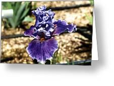 One Sole Iris In Bloom Greeting Card