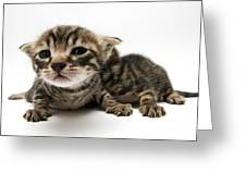 One Week Old Kittens Greeting Card