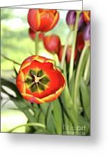 Open Tulip Greeting Card