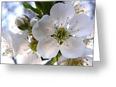 Opening Act -  Cherry Blossoms Greeting Card