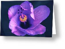 Opening Purple Hibiscus  Greeting Card