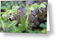 Ophrys Kotschyi Wild Orchid Plant. Greeting Card