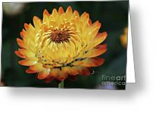 Orange And Yellow Strawflower Greeting Card
