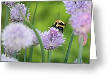 Orange-belted Bumblebee On Chive Blossoms Greeting Card