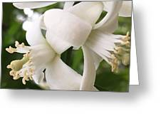Orange Blossoms #4 Greeting Card