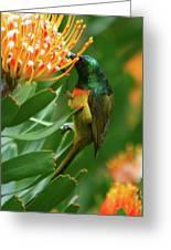 Orange-breasted Sunbird Feeding On Protea Blossom Greeting Card