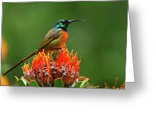 Orange-breasted Sunbird On Protea Blossom Greeting Card