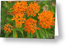 Orange Butterfly Weed From Above Greeting Card