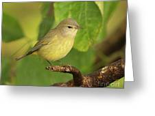 Orange Crowned Warbler Greeting Card