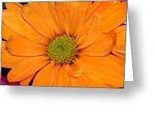 Orange Crush Daisy Greeting Card