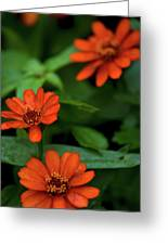 Orange Daisey's Greeting Card