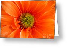 Orange Daisy - A Center View Greeting Card