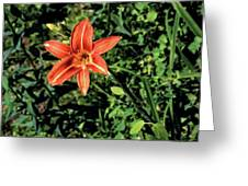 Orange Day Lily 1 Greeting Card
