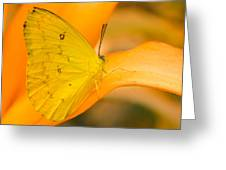 Orange Emigrant Butterfly Greeting Card