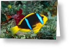 Orange-fin Anemonefish Greeting Card