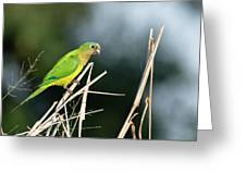Orange-fronted Parakeet Greeting Card