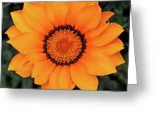 Golden Gazania Greeting Card