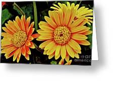 Orange Gerbera Daisies Greeting Card