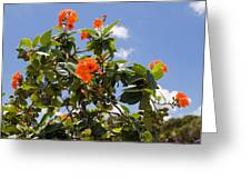 Orange Hibiscus With Fruit On The Indian River In Florida Greeting Card