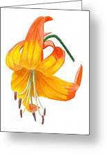 Orange Lily No 3 Greeting Card