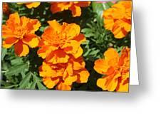 Orange Marigolds In Bloom Greeting Card