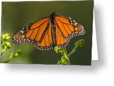 Orange Monarch Greeting Card