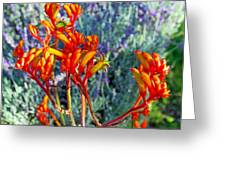 Yellow-orange Kangaroo Paws At Pilgrim Place In Claremont-california- Greeting Card