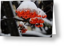 Orange Mountain Ash Berries Greeting Card