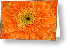 Orange Mum In Detail Greeting Card